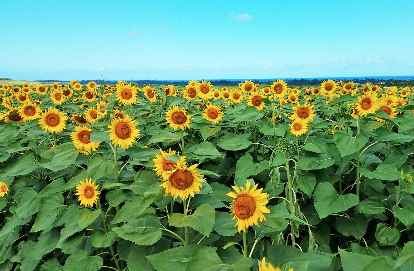 Sunflower Fields Waialua Oahiu