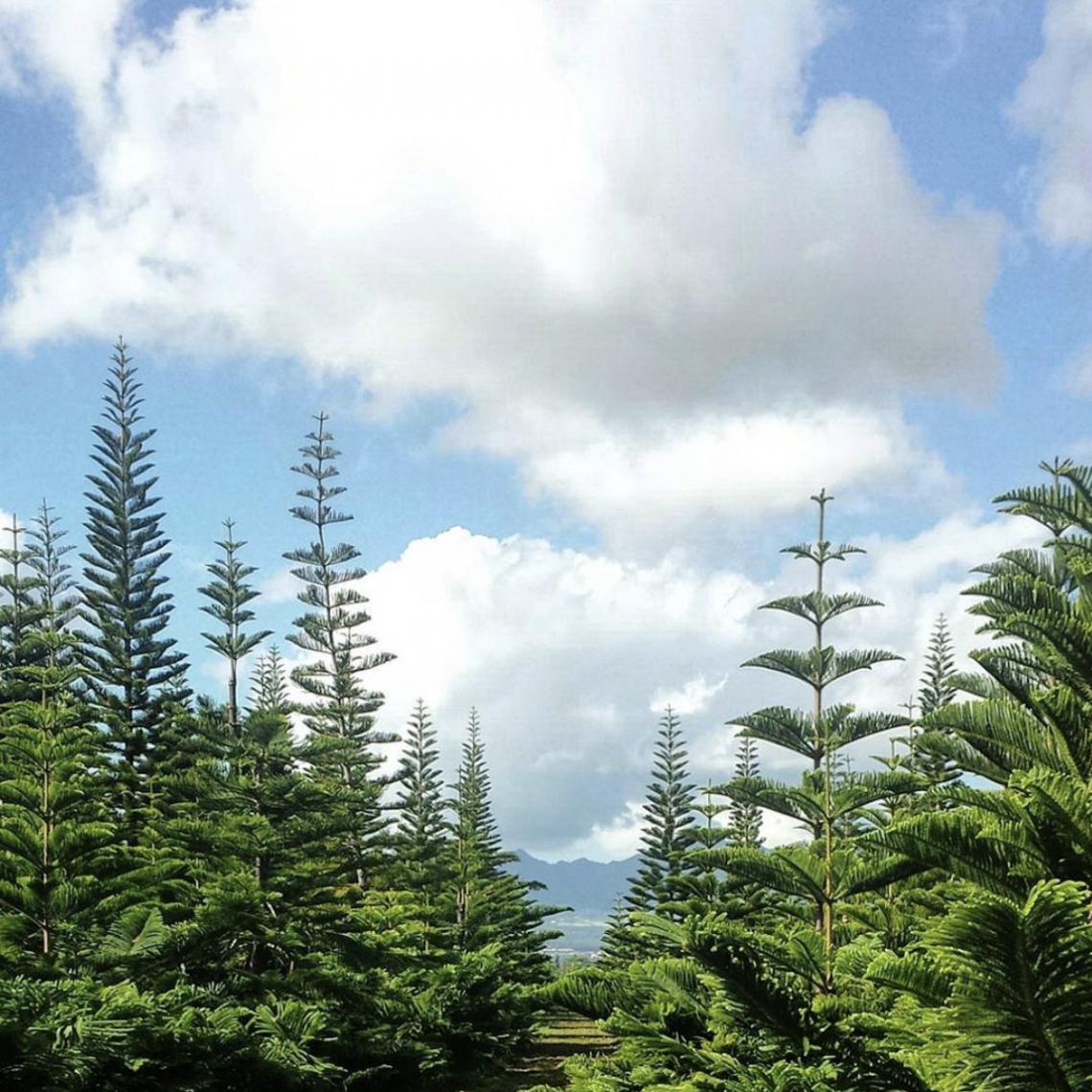The Real Christmas Tree Farm: Holiday Traditions: Hawaii Christmas Tree Farm