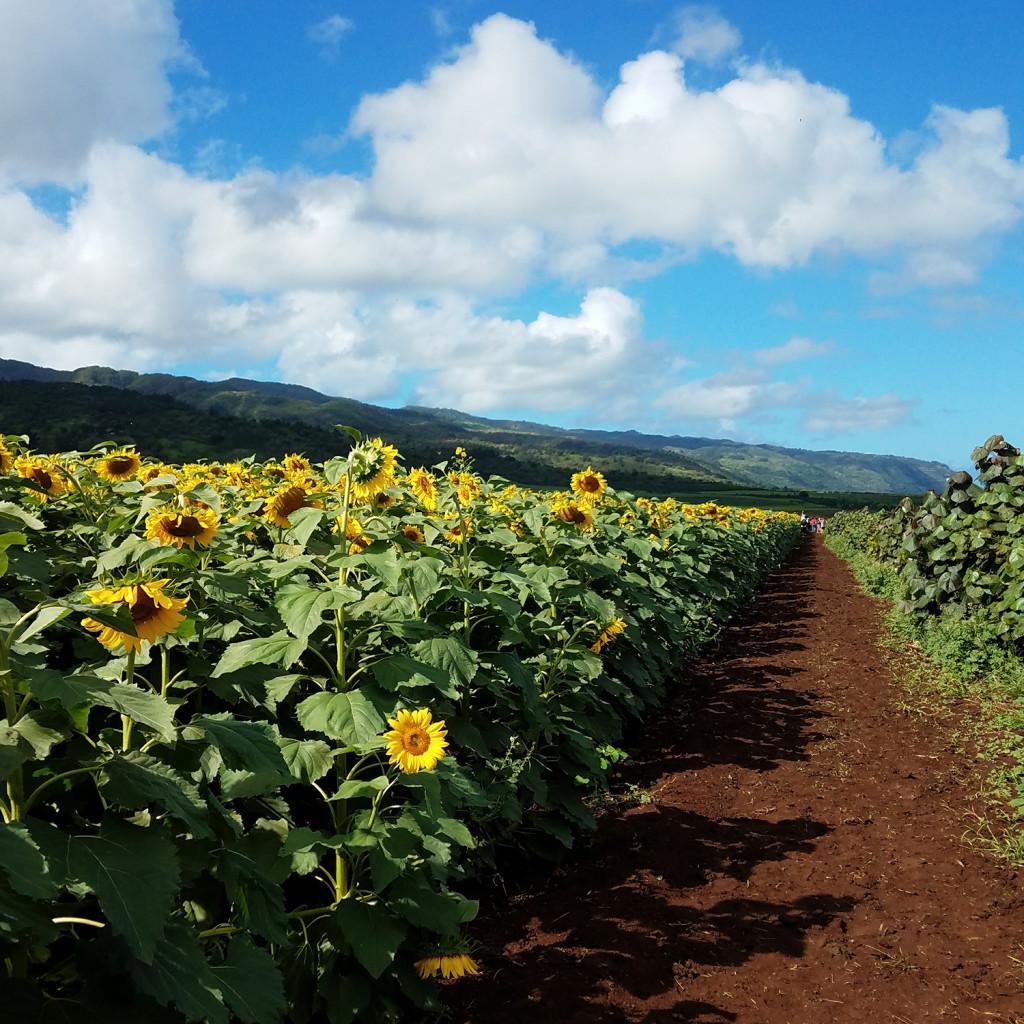 Sunflower-View
