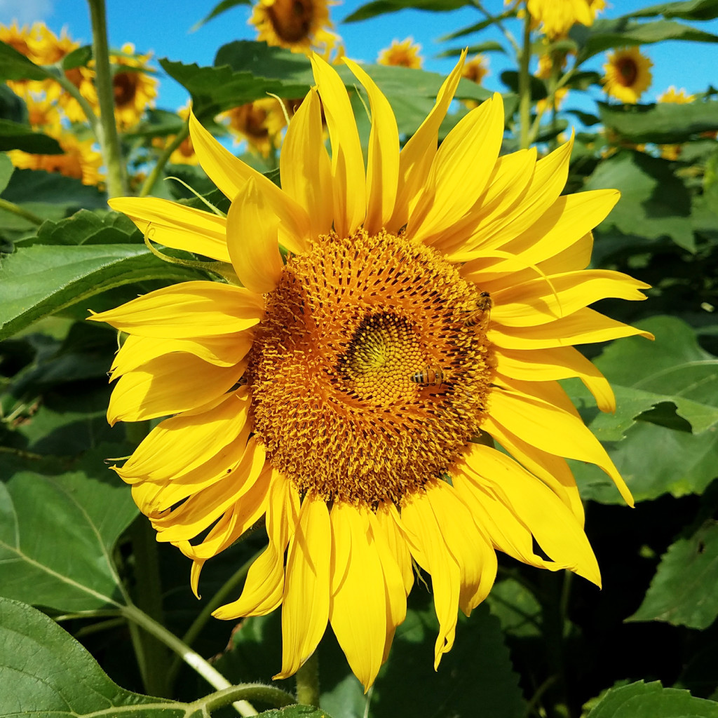 sunflower-closeup